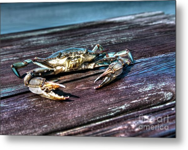 Blue Crab - Above View Metal Print