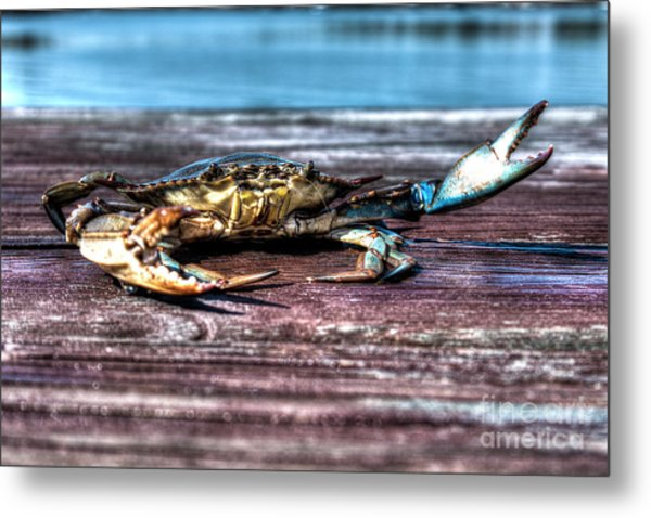 Blue Crab - Big Claws Metal Print