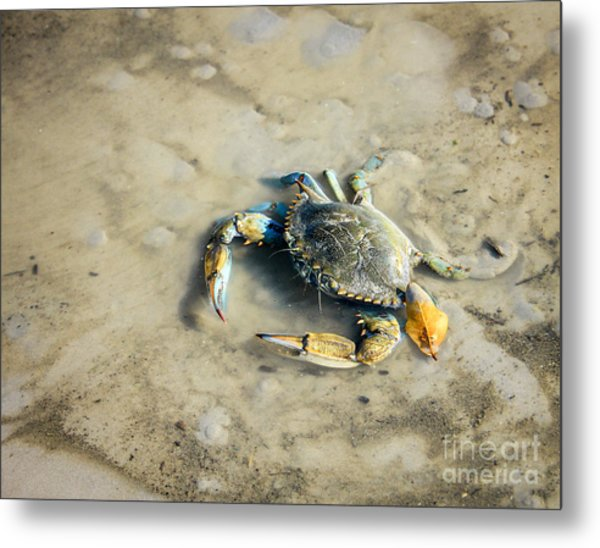 Metal Print featuring the photograph Blue Crab by Sandy Adams
