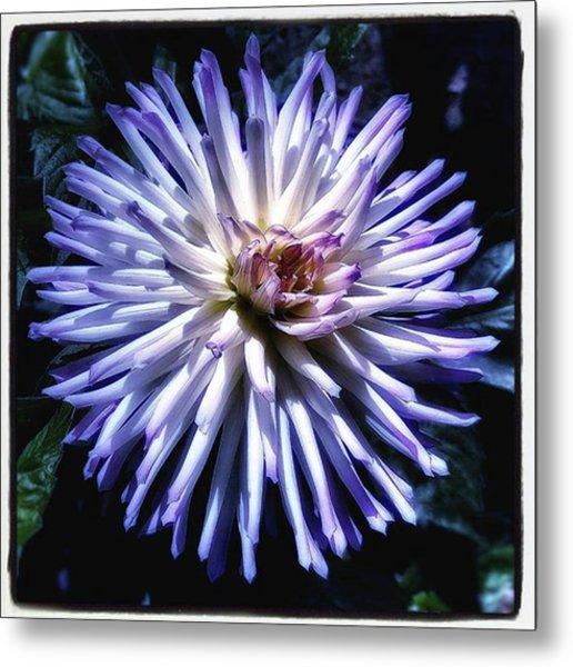 Blue Dahlia. Like A Winking  Star In Metal Print by Mr Photojimsf