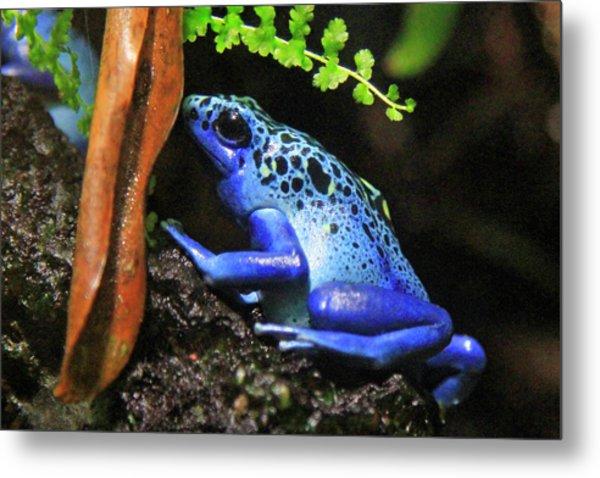 Blue Dart Frog Metal Print