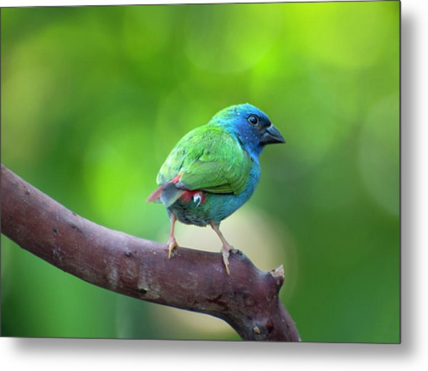 Blue-faced Parrotfinch Metal Print