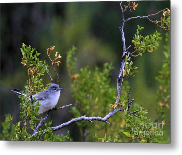 Blue-gray Gnatcatcher  Metal Print