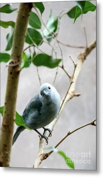 Blue-grey Tanager Metal Print