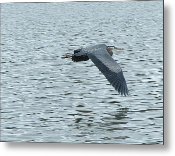 Blue Heron In Flight Metal Print by Nick Gustafson