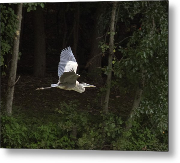 Blue Heron In Flight Metal Print