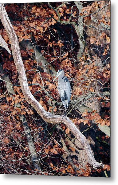 Blue Heron In Tree Metal Print
