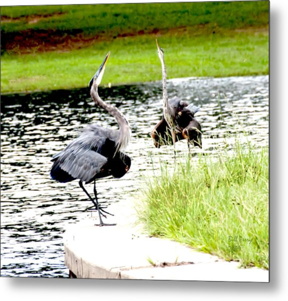 Blue Heron Mating Dance Metal Print by Bill Perry