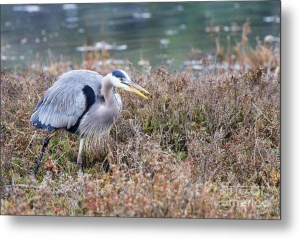 Blue Heron On The Hunt Metal Print by Eddie Yerkish
