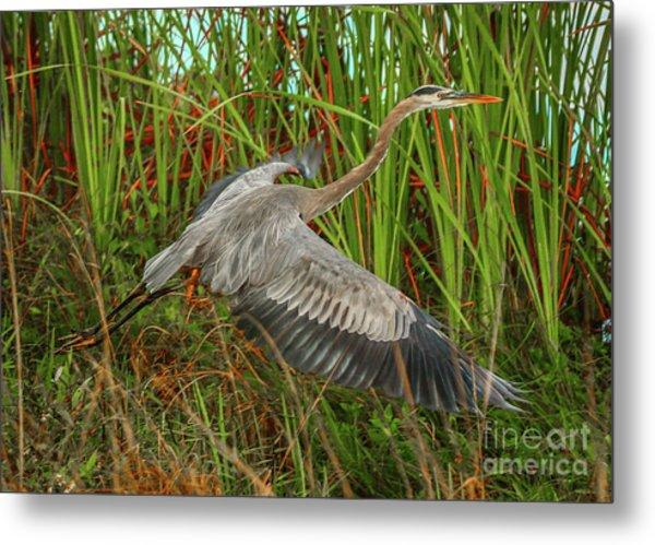 Blue Heron Take-off Metal Print