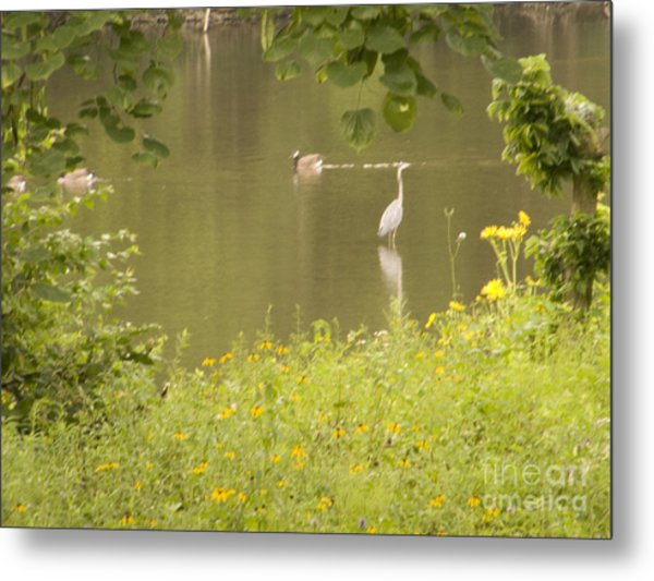 Blue Heron Wading With Canadian Geese Metal Print