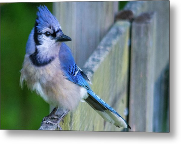 Blue Jay Fluffed Metal Print