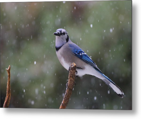 Metal Print featuring the photograph Blue Jay In Falling Snow by Daniel Reed