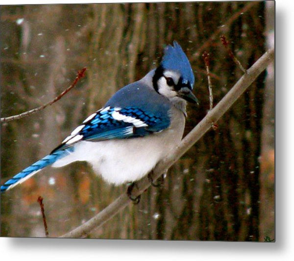 Blue Jay In The Snow Metal Print