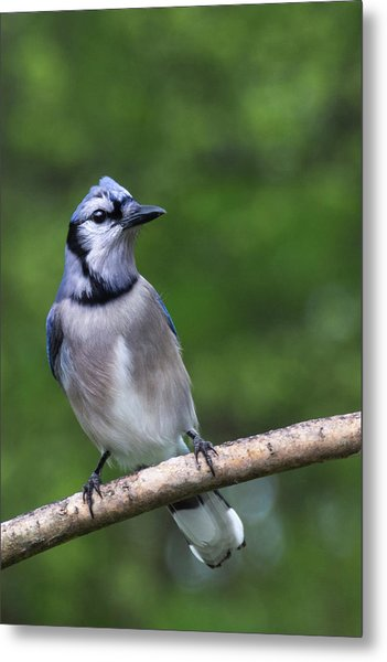 Blue Jay On Alert Metal Print