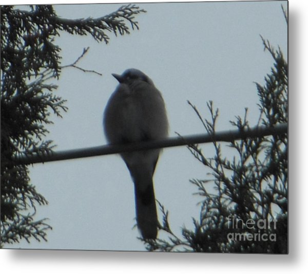 Blue Jay On Wire Metal Print