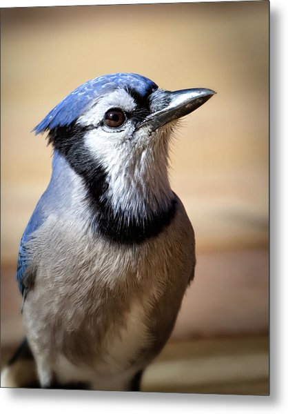 Blue Jay Portrait Metal Print