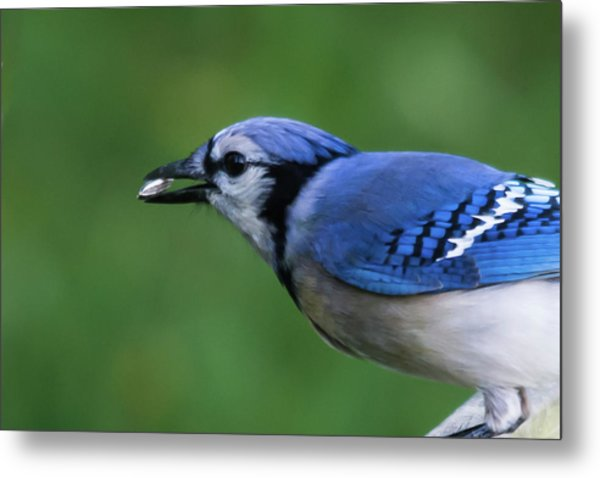 Blue Jay With Seed Metal Print