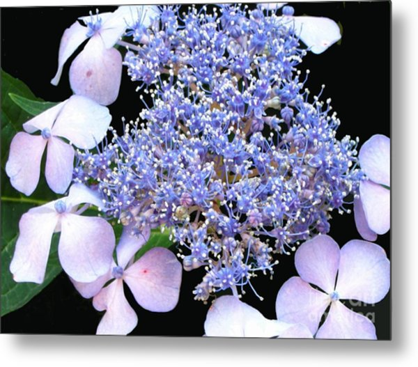 Blue Lace-cap Hydrangea Metal Print by Linda Vespasian