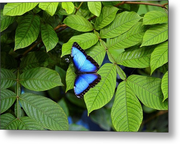 Blue Leaves - Morpho Butterfly Metal Print