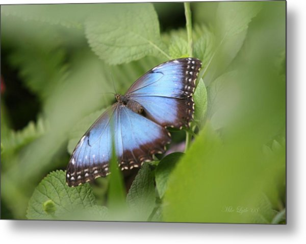 Blue Morpho Butterfly Metal Print by Mike Lytle