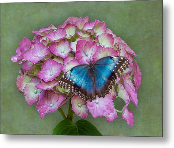 Blue Morpho Butterfly On Pink Hydrangea Metal Print