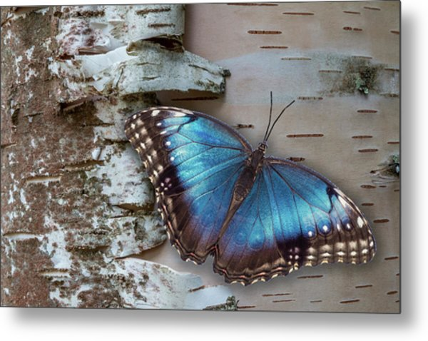 Metal Print featuring the photograph Blue Morpho Butterfly On White Birch Bark by Patti Deters