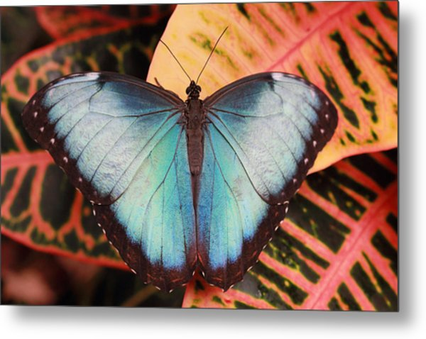 Blue Morpho On Orange Leaf Metal Print