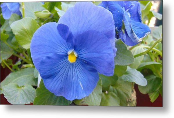 Blue Pansy Flower Metal Print