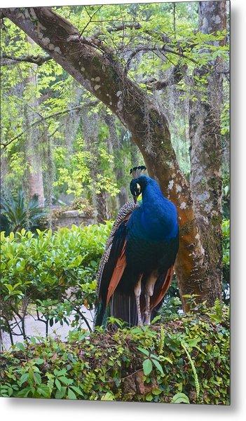 Blue Peacock  Metal Print