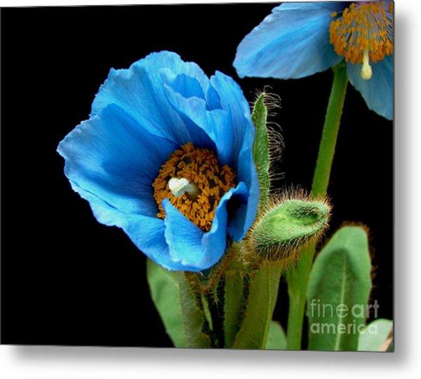 Blue Poppy Metal Print by Robert Nankervis
