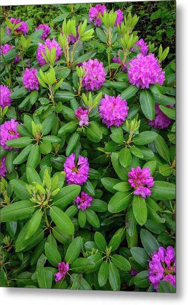 Blue Ridge Mountains Rhododendron Blooming Metal Print