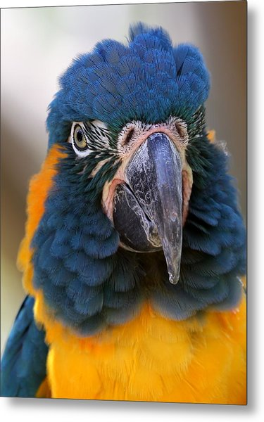 Blue-throated Macaw Close-up Metal Print