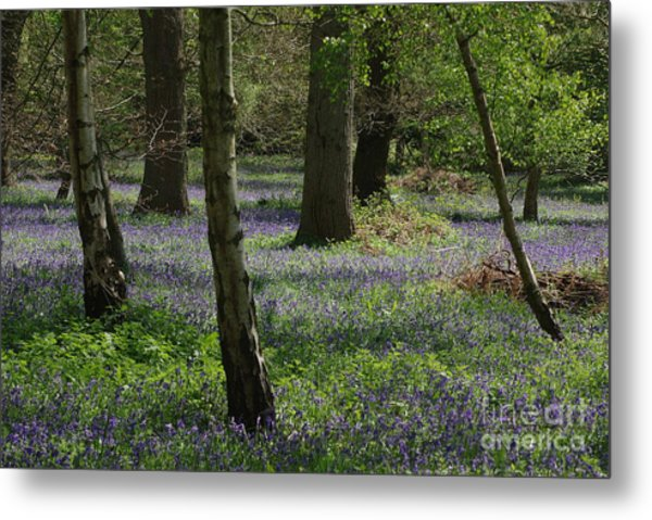 Bluebell Woods Metal Print by Catja Pafort
