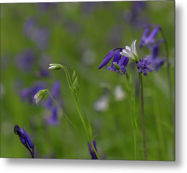Bluebells And Stitchwort  Metal Print