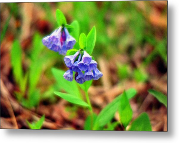Bluebells Metal Print by C E McConnell