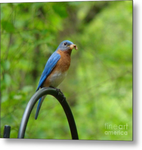 Bluebird Catches Worm Metal Print