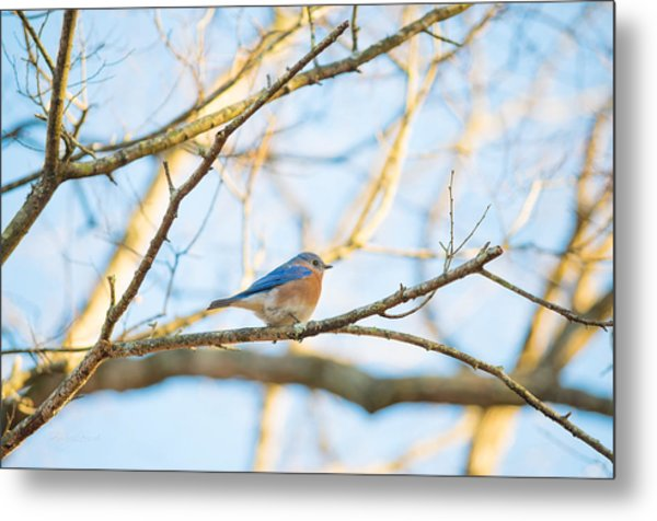 Bluebird In Tree Metal Print