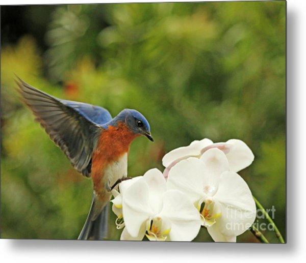 Bluebird Landing On Orchid Metal Print