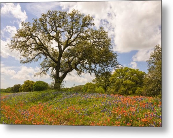 Bluebonnets Paintbrush And An Old Oak Tree - Texas Hill Country Metal Print
