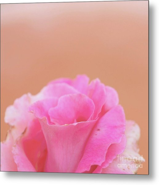 Metal Print featuring the photograph Blushing Rose by Cindy Garber Iverson