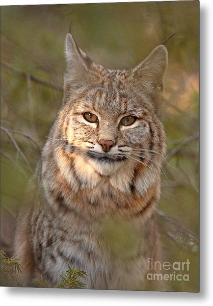Bobcat Portrait Surrounded By Pine Metal Print