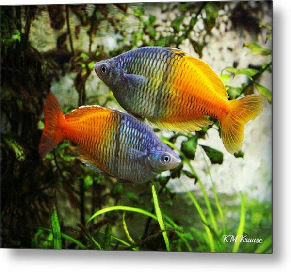 Boeseman's Rainbowfish Metal Print