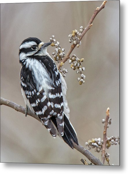 Bombay Hook Woodpecker Metal Print