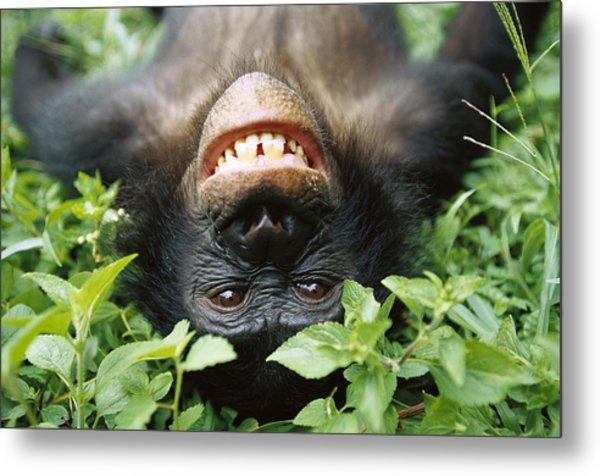 Bonobo Smiling Metal Print