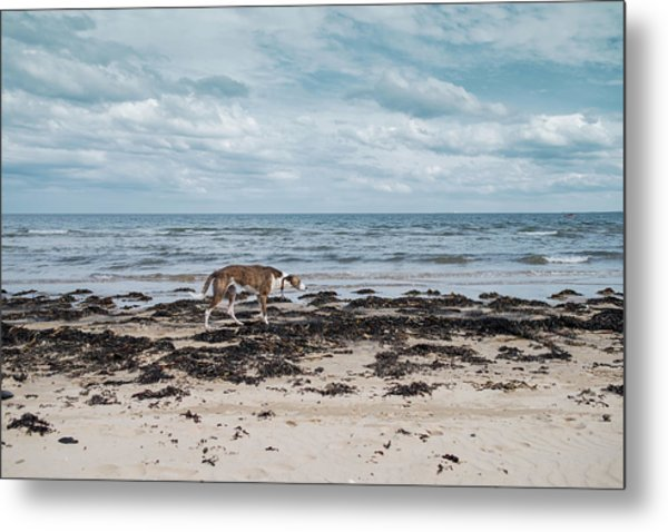 Borzoi Dog Stalking Alnmouth Beach Metal Print by Jean Gill