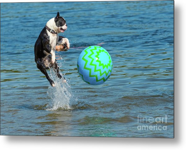 Boston Terrier High Jump Metal Print