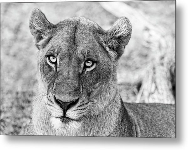 Botswana  Lioness In Black And White Metal Print
