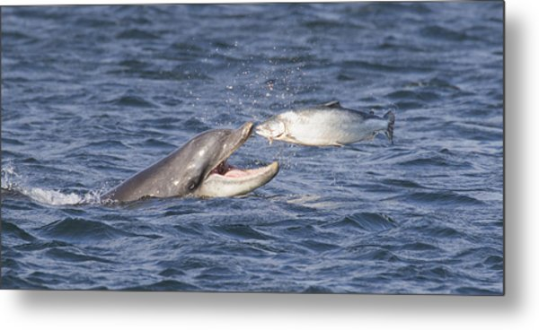 Bottlenose Dolphin Eating Salmon - Scotland  #36 Metal Print