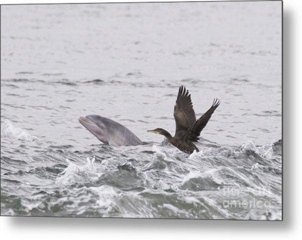 Baby Bottlenose Dolphin - Scotland #10 Metal Print